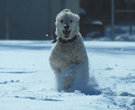 29 - Jackson the Standard Poodle in snow - Picture courtesy of Murilee Martin